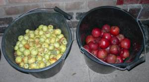 crab apples and sharp eating apples